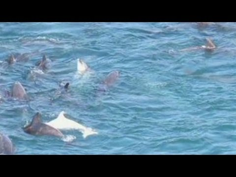 Film exposes dolphin hunt in Japan