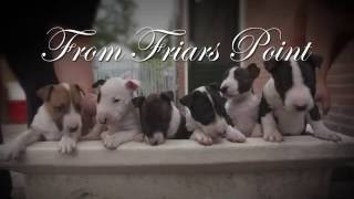 From Friars Point Minibullterrier Puppies 2016