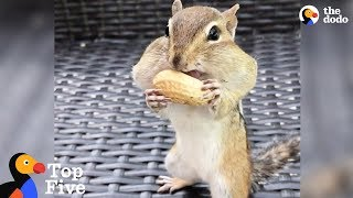 Chipmunk Fills Mouth with Peanuts + Tiny Animals Doing Cute Things | The Dodo
