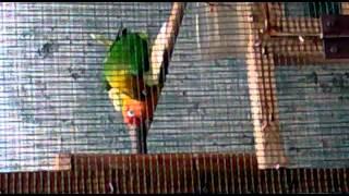 lovebird Ijo vs kepala emas