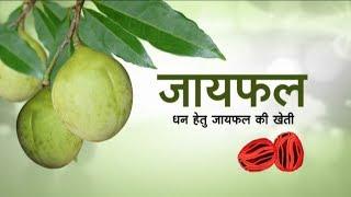 Nutmeg for Minting Money - Hindi