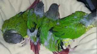 maroon tailed conure babies in (Preethi Farms)