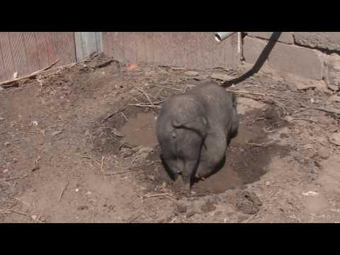 поубирал у свиньи/отвечаю на вопросы про свиней