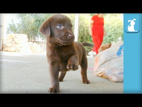The CUTEST Chocolate Labrador Puppy WAVES his paw! - Puppy Love