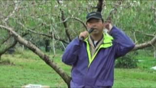 柿の洗浄 果樹園の樹皮洗浄検討会