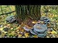 Сбор грибов   гриб вешенка
