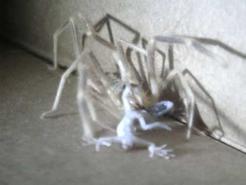 Camel Spider Devours Gecko in Iraq