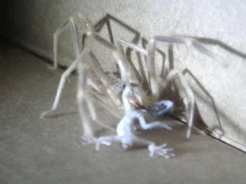 Camel Spider Devours Gecko in Iraq