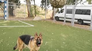 Luna the goalkeeping GSD