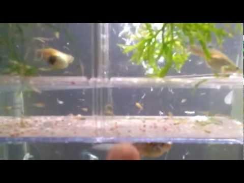 Pregnant Guppies video