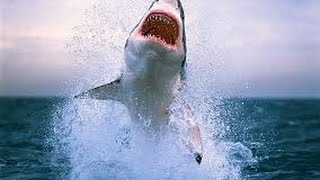 Ataque de tiburon blanco - White shark attack