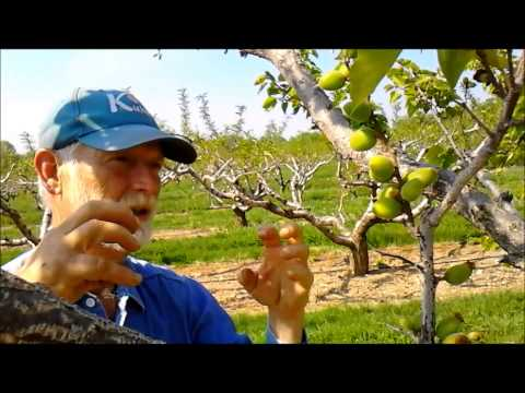 Dave talks about our 2015 Apricot Crop. Apricots are a sensitive crop because their bloom is so early, therefore there is a potential to loose the crop with ...