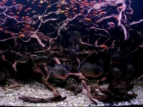 Red Belly Piranha Fish Tank Red Belly Piranha 6 ft Tank