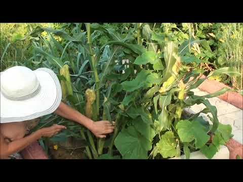 Сорта кукурузы для Сибири – посадка и уход
