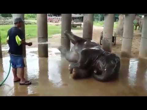 Baby Elephant Navann bath time with his mahout