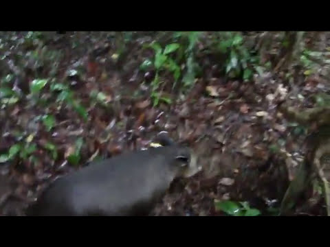 Tapires de Nicaragua