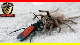 Tarantula vs Avispa | Pepsis wasp vs Tarantula | Batalla animal 2016