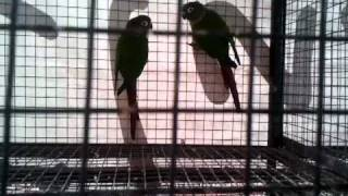 maroon tailed conure & maroon bellie conure in (Preethi Farms)
