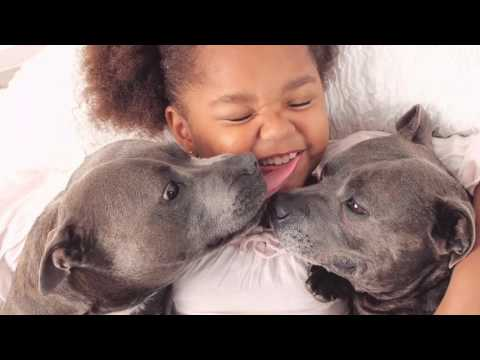 Thing's to be aware of before owning a Staffy/Pitbull - The Blueboys