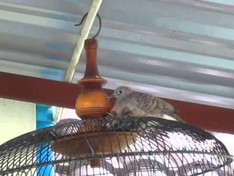 นกเขาชวาป่าแอบมาสร้างรังออกลูกบนกรงฝาพัดลม