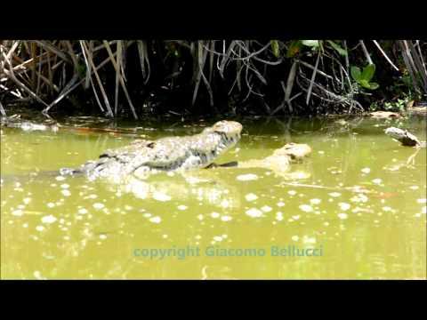 apareamiento de cocodrilos