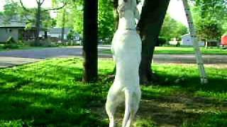American Bulldog Moto Working His Springpole