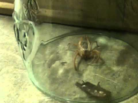 Camel spider vs black widow - photo#26