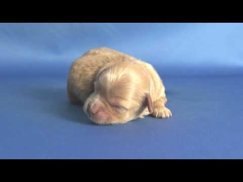 【ペットノート】 マルプー(マルチーズ×トイ・プードルのミックス犬) 男の子 16062304