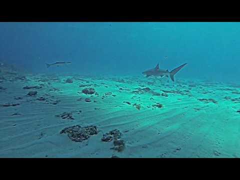 Copy of Tiger & Lemon Sharks at Tiger Beach, Bahamas 2/2013