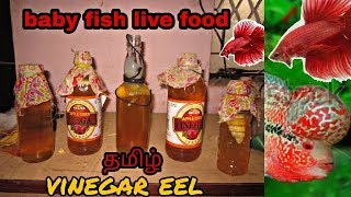 How to culture Vinegar Eels! The EASY Way! Live Fish Food in tamil