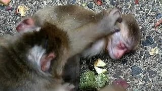 Maybe heatstroke baby monkey, but mom helps wet with water