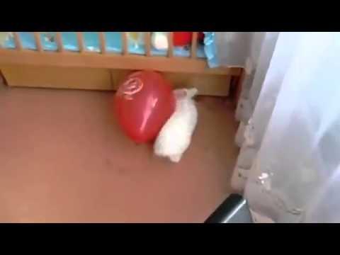 Кролик чуть не умер от страха, играя с надувным шариком