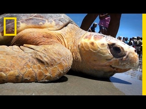Crowds Cheer as Sea Turtles Return to the Sea