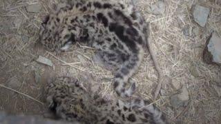 세계 최초 눈표범 새끼의 발견 (The discovery of the world's first snow leopard cub)