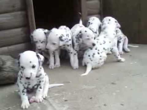 Dalmatian puppies...!!!