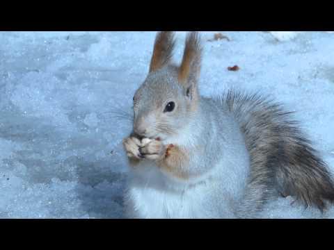 Белка в зимнем парке ест фундук