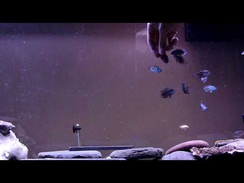 Hand Feeding Electric Blue and Blue Gene Jack Dempsey Cichlids