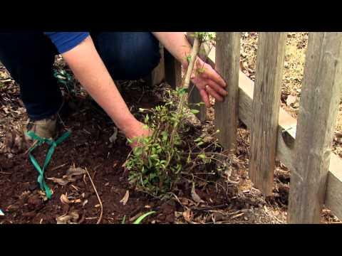 Как сажать клематис весной 11
