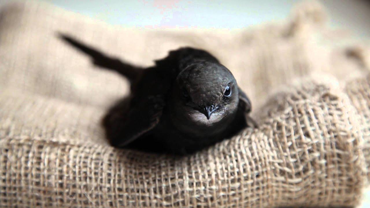 Чем кормить маленького птенца ласточки в домашних условиях