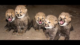 (21.3 MB) The Miracle Cheetah (Sub Indonesia) - NAT GEO WILD Mp3