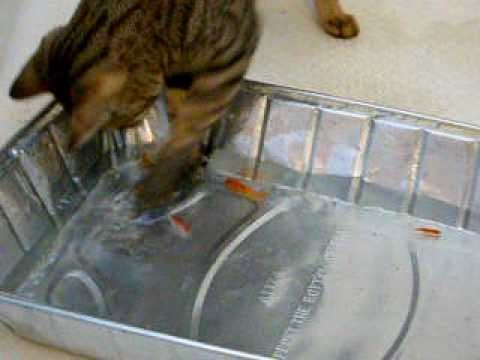 Savannah /  Bengal hybrid cat fishing