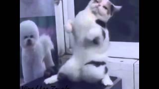 面白スゴイ!踊る猫。