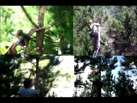 Forestry NZ - Chainsaw Pruning Demonstration (4 workers pruning at the same time) HQ