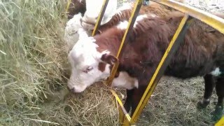 Cattle video #10 Selling the calf crop