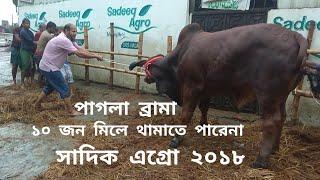 354 | Must Watch Madness | Unloading Brahma Bull | Sadeeq Agro | ZbGH 2018