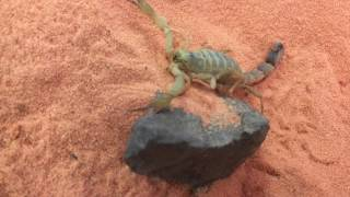 The Most Deadly Scorpion in the World!!!