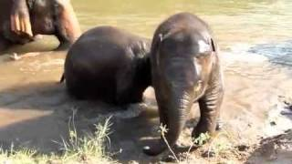 Chang Yim, Pha Mai & their families river bathing http://www.elephantnaturepark.org/