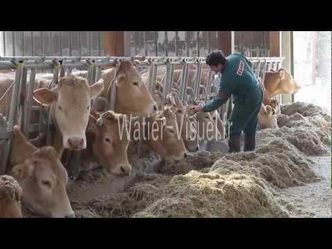 Vaccination de vaches Blonde d'Aquitaine