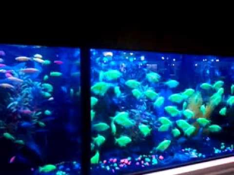 Glow Neon Tetras Neon Fish Glow in The Dark