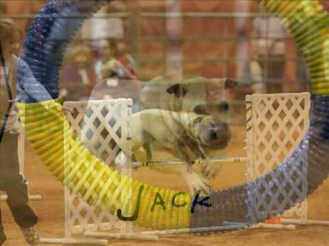 Agility Slideshow - Chinese Shar-Pei Video
